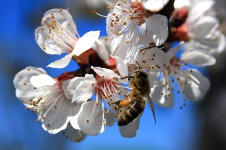 ape che raccoglie il polline da un prunus in fiore