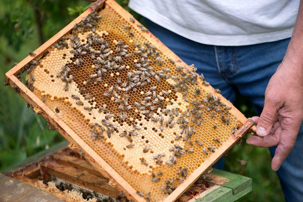 apicoltore tiene in mano un favo pieno di api