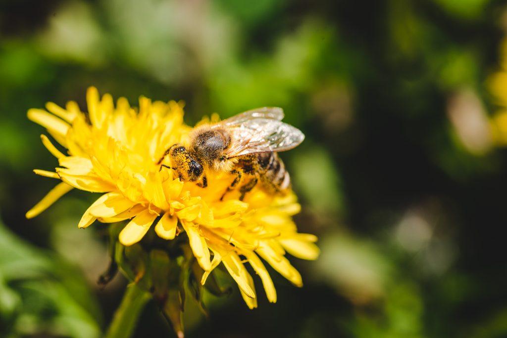 ape ricoperta di polline che sta raccogliendo il nettare da un fiore di tarassaco