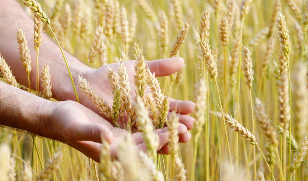 campi di grano con mani del contadino